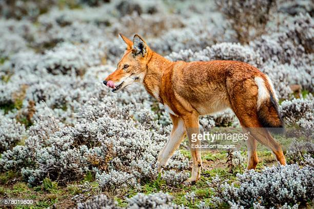 Ethiopian wolf Canis simensis also know as Abyssinian wolf Simien wolf Simien jackal Ethiopian jackal red fox red jackal Bale Mountains National Park...
