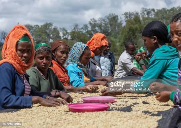Ethiopian women drying coffee beans in a farm Oromia Shishinda Ethiopia on October 27 2018 in Shishinda Ethiopia