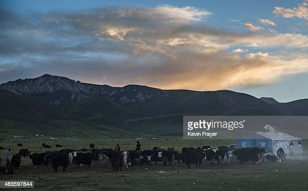 Ethnic Tibetan nomads stand with their Yak herd at their camp on July 26 2015 on the Tibetan Plateau in Yushu County Qinghai China Tibetan nomads...