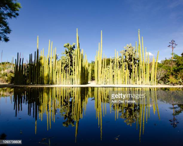 Ethnobotanical Garden Oaxaca a view of the organ pipe cactus in the mirror pool