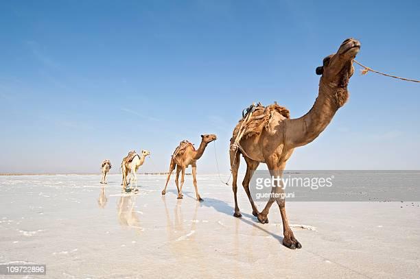 ethopian salt-caravan - eritrea stock-fotos und bilder