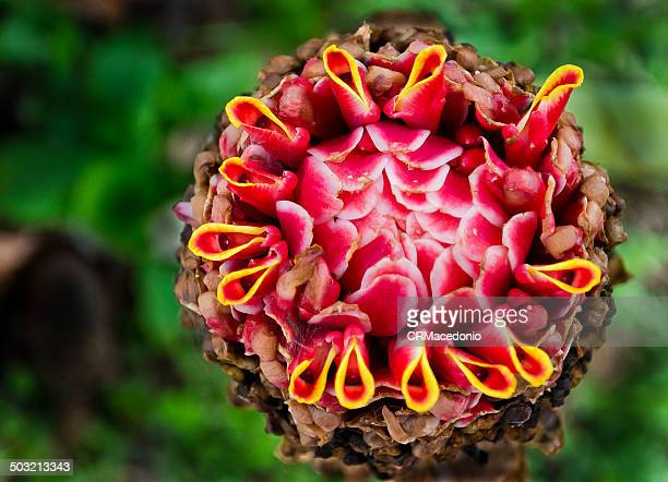 etlingera elatior - crmacedonio stock pictures, royalty-free photos & images