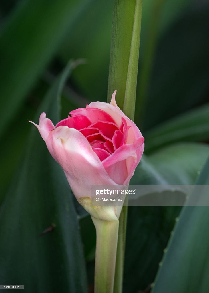 Etlingera elatior : Stock Photo