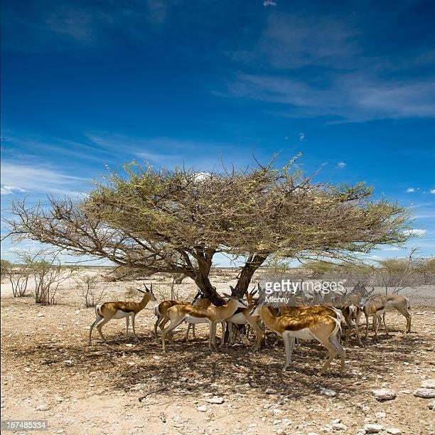Etosha Pan Namibia Antelopes Africa