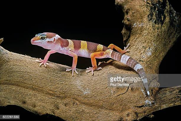 Eublepharis macularius f. albino (leopard gecko)