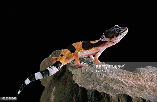 Eublepharis macularius f.golden (leopard gecko)