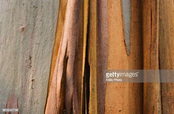 Eucalypts tree texture