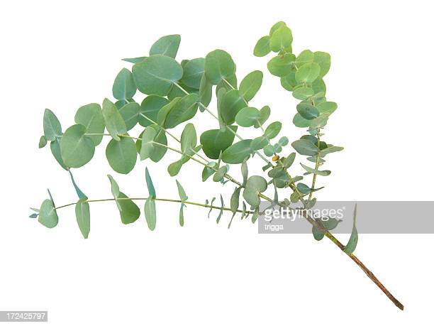 eucalyptus branch - focus on background stock pictures, royalty-free photos & images