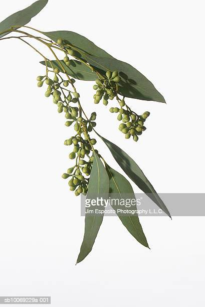 eucalyptus branch, studio shot - eucalyptus tree stock pictures, royalty-free photos & images