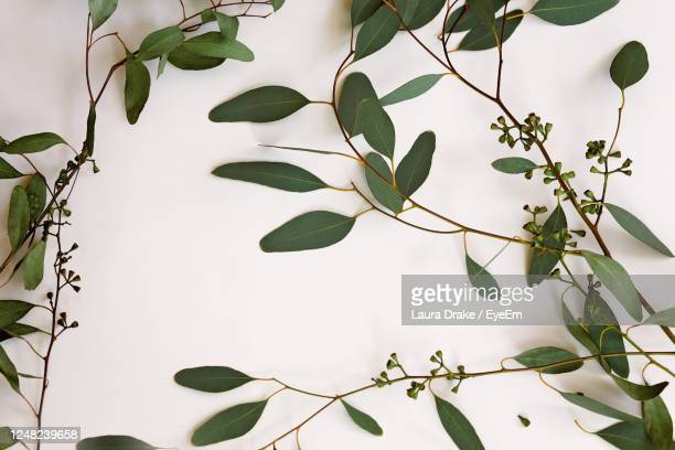 eucalyptus branch with leaves on white background version 2 warmer - eucalyptus tree stock pictures, royalty-free photos & images