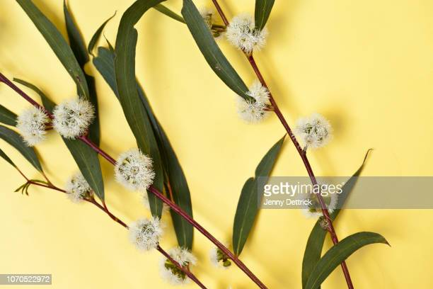 eucalyptus branches in flower - eucalyptus tree stock pictures, royalty-free photos & images