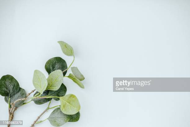 eucalyptus branches on white background. flat lay, top view. copy space - eucalyptus tree stock pictures, royalty-free photos & images