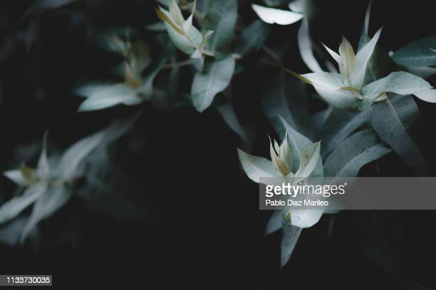 eucalyptus branches with dark background - eucalyptus tree stock pictures, royalty-free photos & images