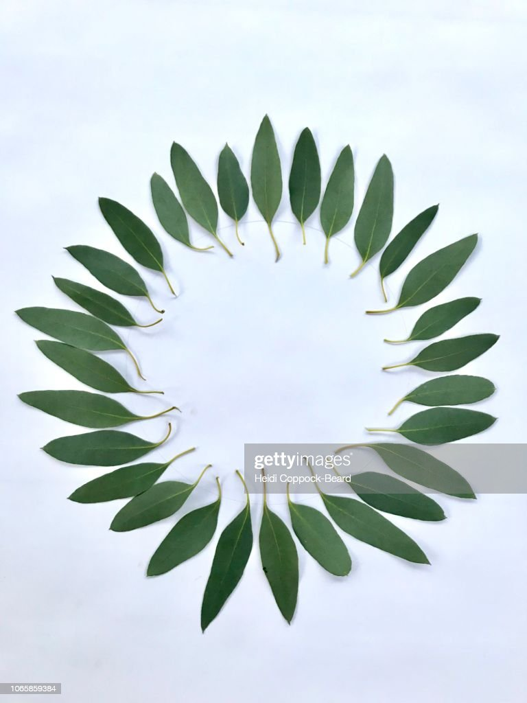 Eucalyptus circle : Stock Photo