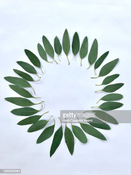 eucalyptus circle - heidi coppock beard stock pictures, royalty-free photos & images