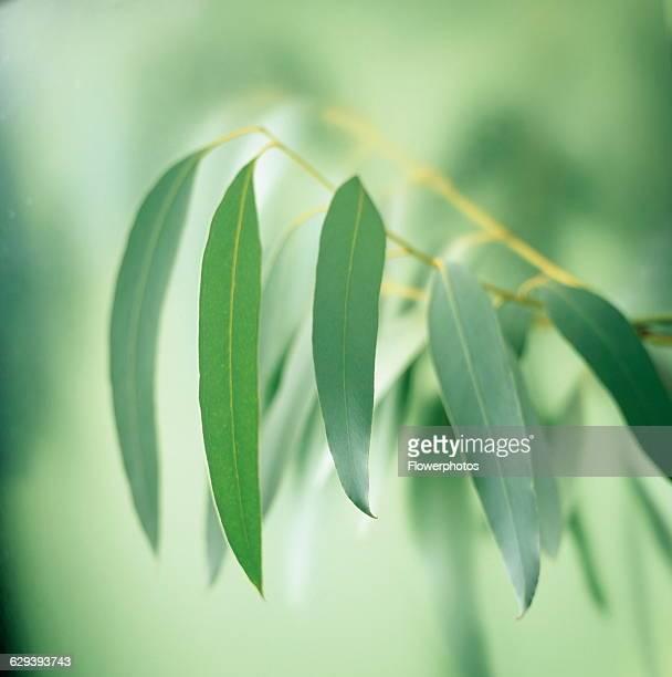 Eucalyptus Eucalyptus globulus