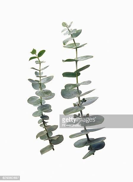 Eucalyptus Eucalyptus gunnii
