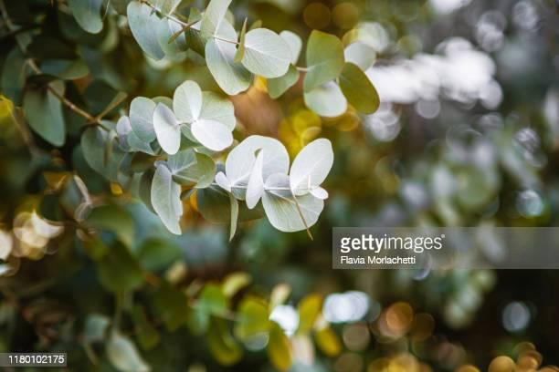 eucalyptus foliage - eucalyptus tree stock pictures, royalty-free photos & images