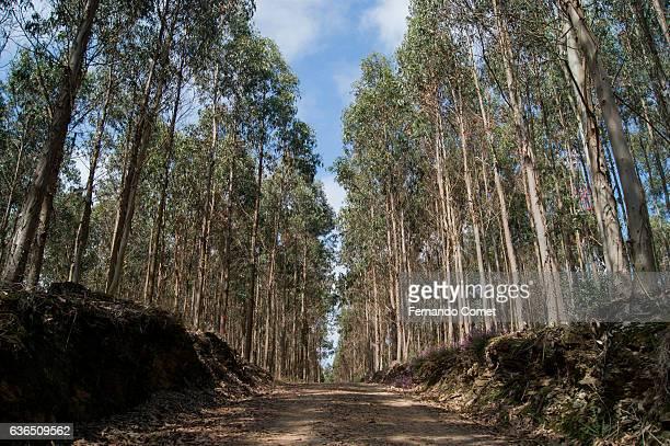 Eucalyptus forest in Galicia