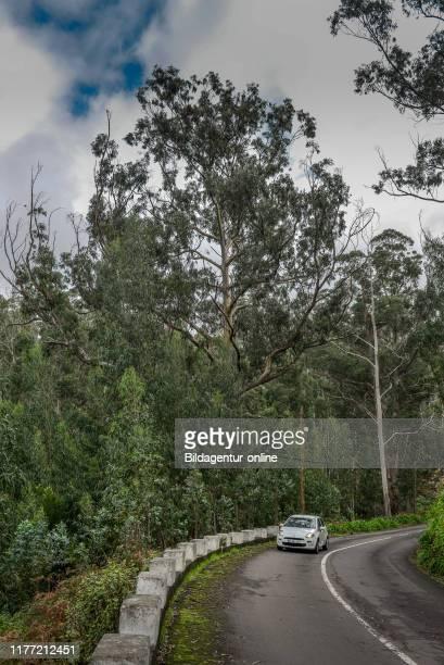 Eucalyptus forest near Achadas da Cruz, Madeira, Portugal, Eukalyptuswald bei Achadas da Cruz.
