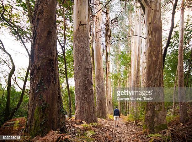 eucalyptus forest of chavin, lugo. the oldest in europe. - vivero - fotografias e filmes do acervo