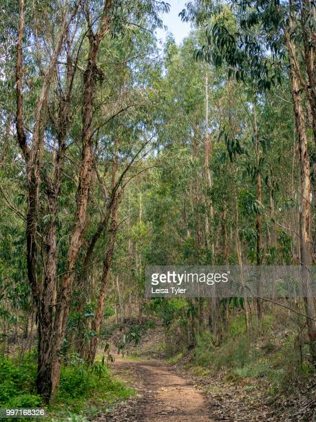 VICENTINA ALENTEJO PORTUGAL A eucalyptus forest outside of Cercal do Alentejo in southern Portugal The Australian native was introduced to Europe as...