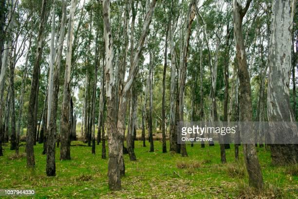 eucalyptus forest - grove fotografías e imágenes de stock