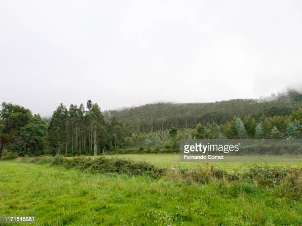eucalyptus forest under a cloudy day - gras stock pictures, royalty-free photos & images
