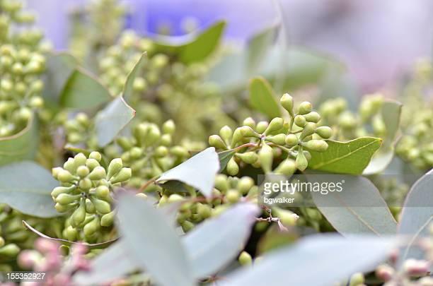 Eucalyptus feuilles et graines de bornes