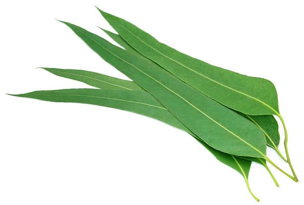 effectiveness of eucalyptus leaves as an