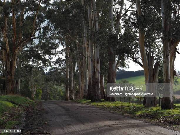 eucalyptus line a country road near warragul, west gippsland, victoria, australia. - country road stock pictures, royalty-free photos & images