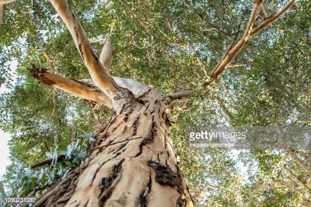 Eucalyptus - photo in contrapicado