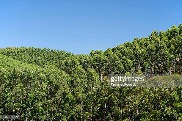 eucalyptus plantation in brazil - eucalyptus tree stock pictures, royalty-free photos & images