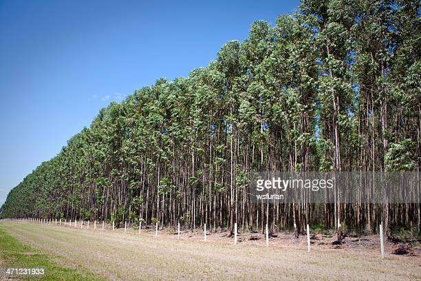 eucalyptus plantation - eucalyptus tree stock pictures, royalty-free photos & images