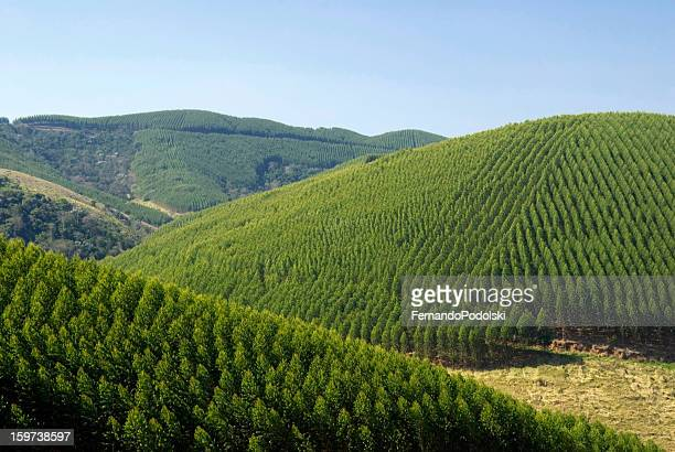 eucalyptus plantations in brazil - eucalyptus tree stock pictures, royalty-free photos & images