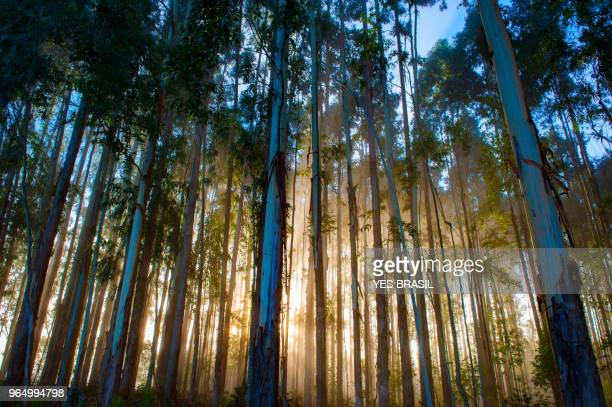 reflorestamento de eucalipto - urubici , santa catarina, brazil - eucalyptus tree stock pictures, royalty-free photos & images