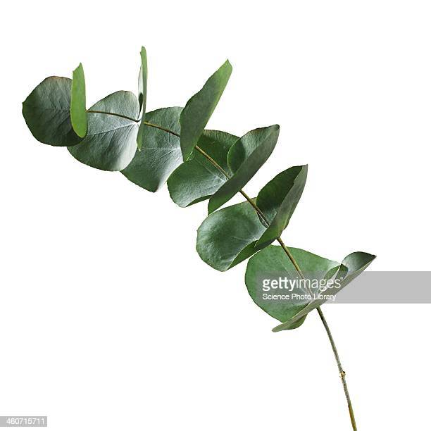 eucalyptus sp leaves - leaves stock photos and pictures