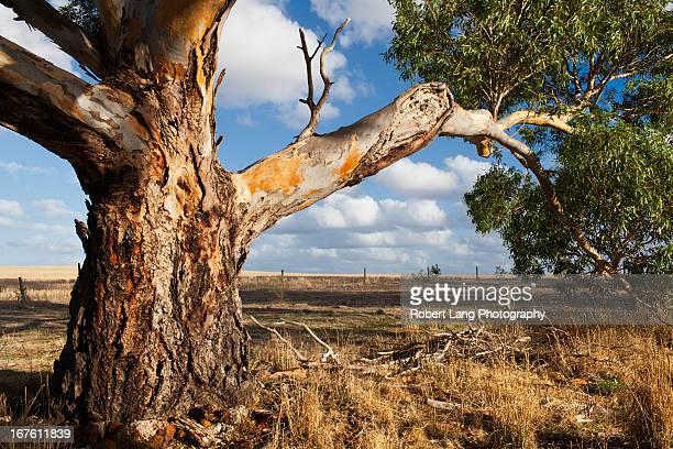 eucalyptus tree, australia - eucalyptus tree stock pictures, royalty-free photos & images