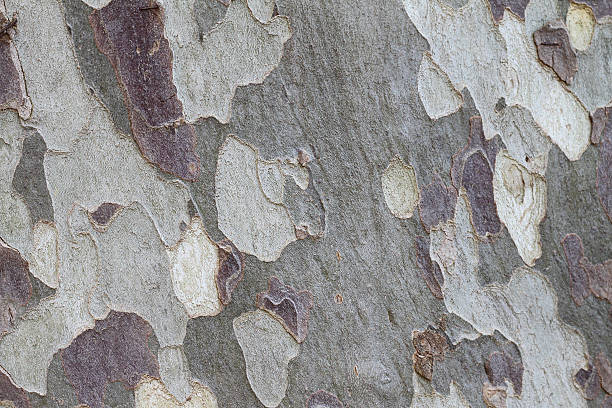 Eucalyptus tree bark full frame