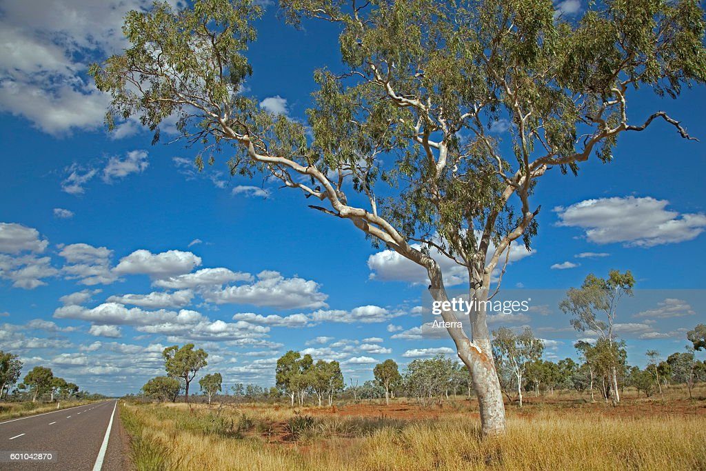 Eucalyptus Tree / Gum Trees In The Australian Outback