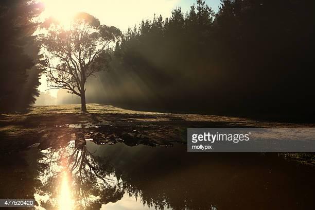 Eucalyptus Tree highlighted by Sunbeams on a Foggy Morning