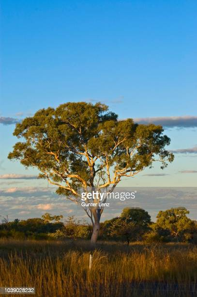 eucalyptus tree (eucalyptus spec.), kalbarri desert, western australia - gum disease stock photos and pictures