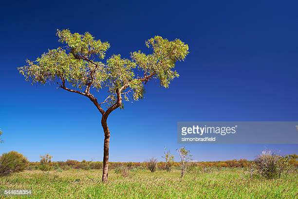 Eucalyptus Tree Near Uluru