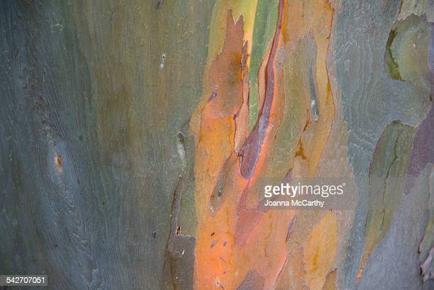 eucalyptus tree - vero beach stock pictures, royalty-free photos & images