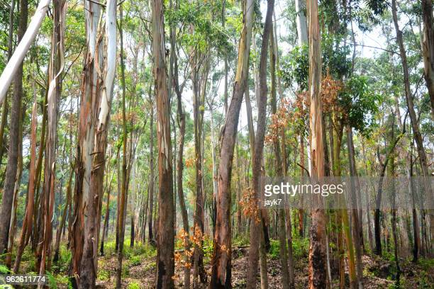 eucalyptus tree - eucalyptus tree stock pictures, royalty-free photos & images
