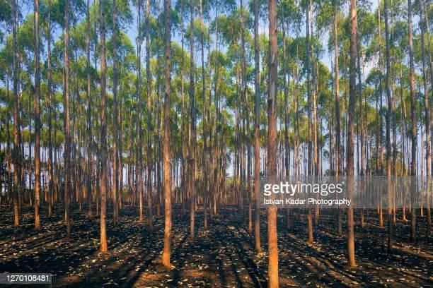eucalyptus tree plantation - ユーカリの木 ストックフォトと画像