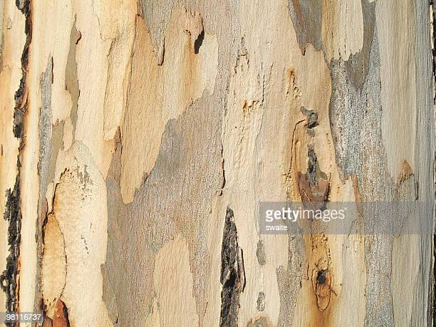 eucalyptus tree texture - eucalyptus tree stock pictures, royalty-free photos & images
