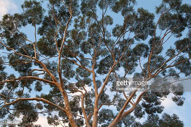 eucalyptus tree trunk canopy, evening, australia - eucalyptus tree stock pictures, royalty-free photos & images