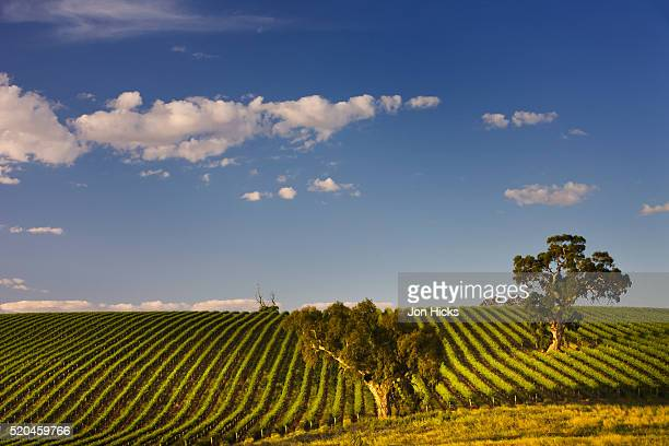 Eucalyptus trees amongst grapevines in the Barossa Valley