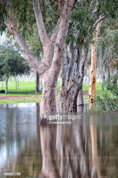 eucalyptus trees and reflections on water. - emreturanphoto stock pictures, royalty-free photos & images